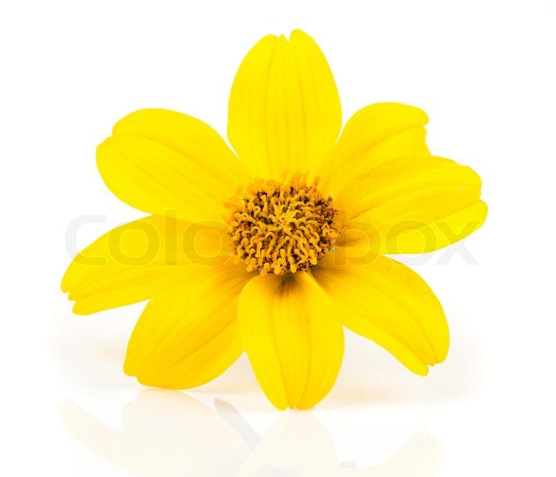 gelbe blumen goldmarie bidens ferulifolia bidens goldl ckchen stockfoto colourbox. Black Bedroom Furniture Sets. Home Design Ideas