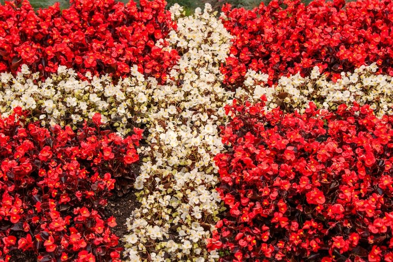 Red and white flowers illustrating the flag of denmark stock photo red and white flowers illustrating the flag of denmark stock photo colourbox mightylinksfo