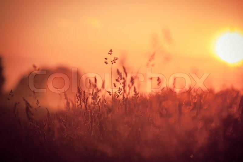 grass field sunrise. Simple Field Dry Red Grass Field In Sunset Sunlight Beautiful Yellow Sunrise Light Over  Meadow  Stock Photo Colourbox On L