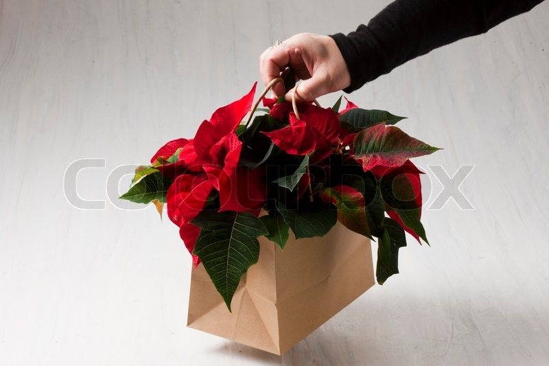 A Person Holding A Bag Of Poinsettia Stock Photo Colourbox