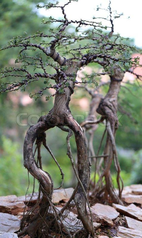 Unusual beautiful bonsai tree in a park stock photo for Unique bonsai trees