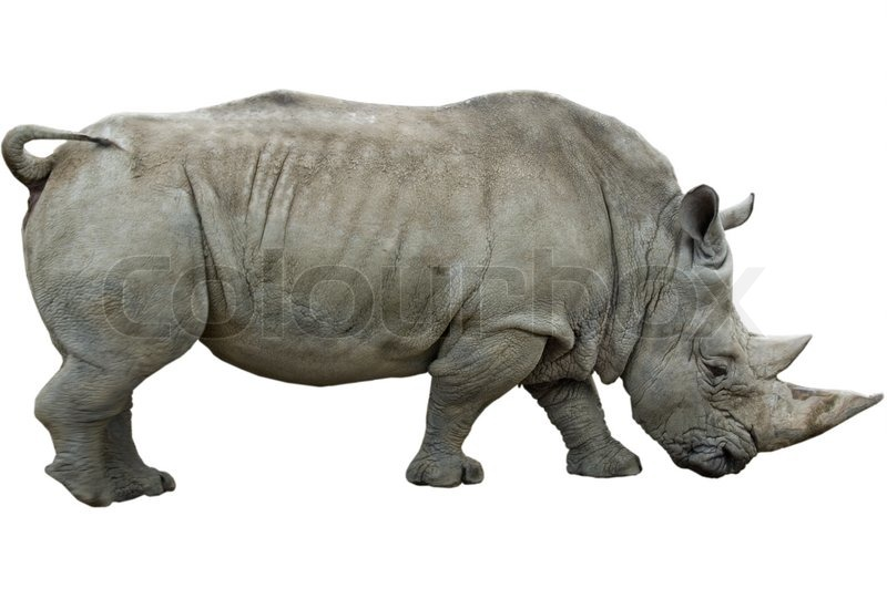 Stock image of 'Male White Rhinoceros isolated on white'