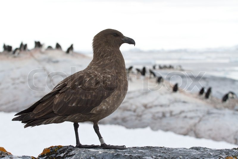 Antarctic or brown skua which stands on a rock on a background of the penguin colonies, stock photo