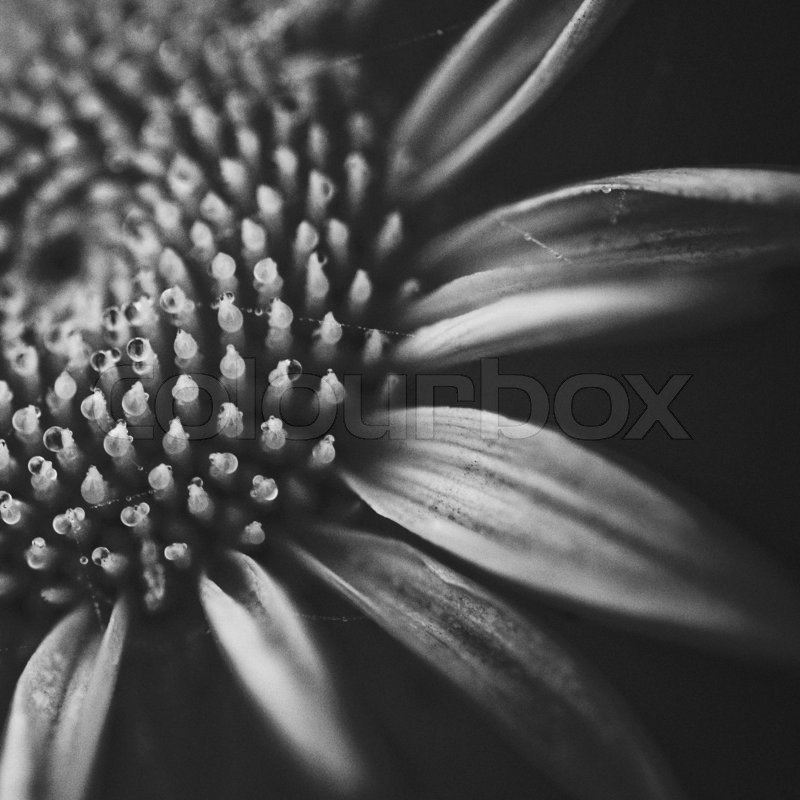 Close up flower in black and white film grain shallow dof stock photo colourbox