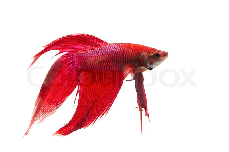 red fantail betta