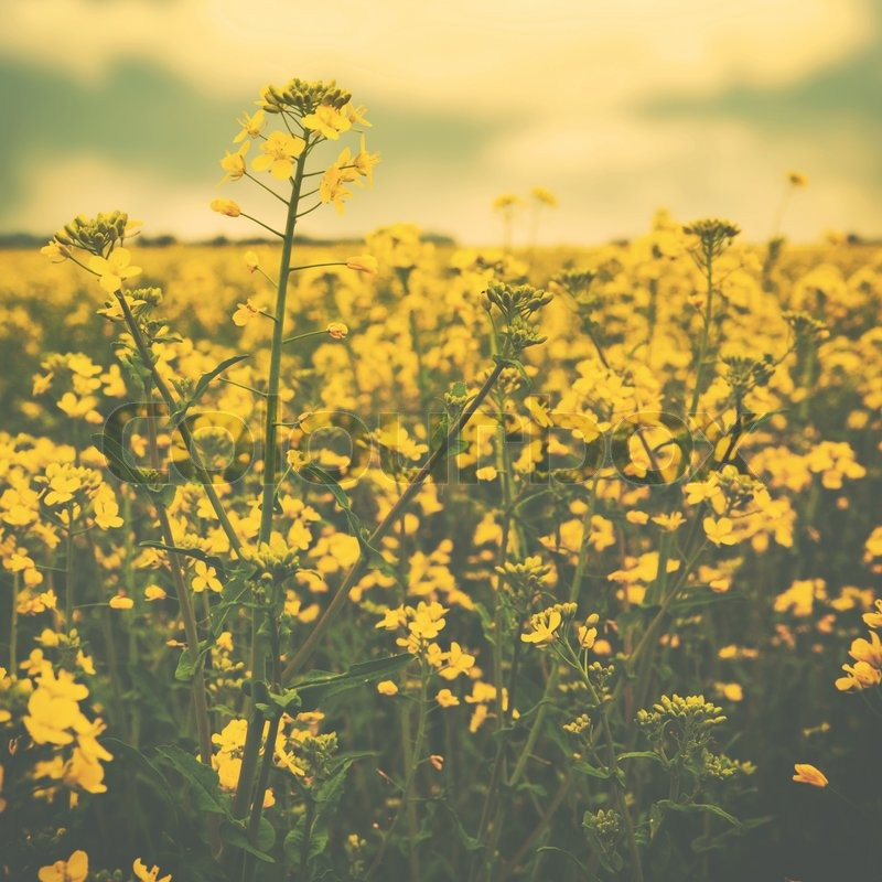 Wild Yellow Flowers On The Summer Stock Photo Colourbox