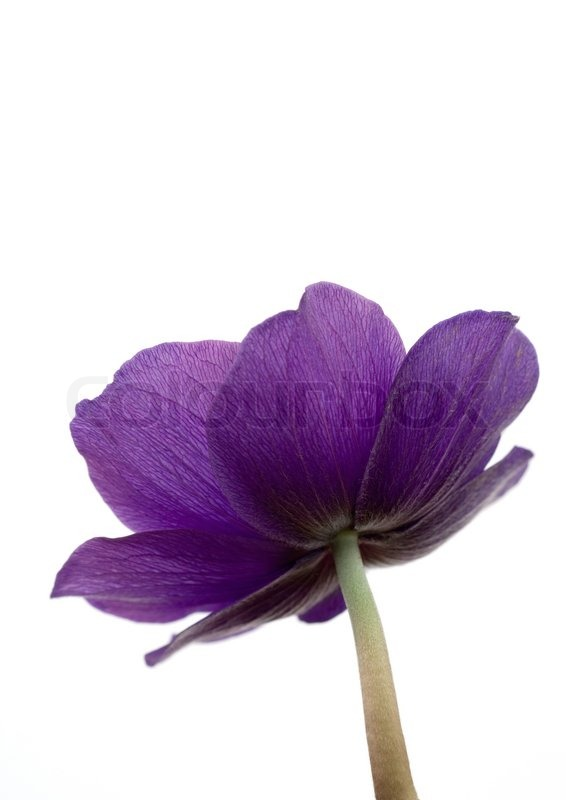 Low angle view of anemone flower | Stock Photo | Colourbox