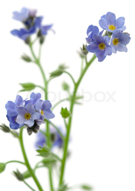 Forget Me Not Flowers On White Stock Photo Colourbox