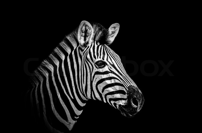Zebra in black and white shot against a black background stock photo colourbox