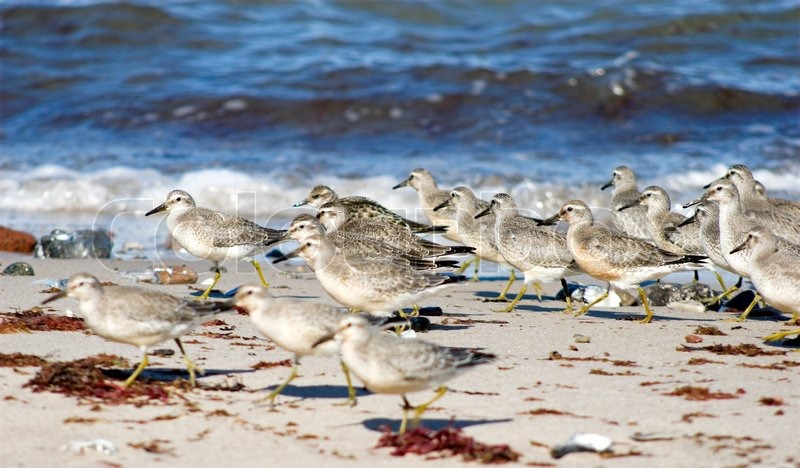 Birds on the Beach. Calidris Canutus in Denmark, stock photo