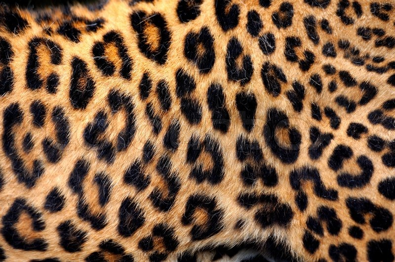 Leopard skin texture for background | Stock Photo | Colourbox