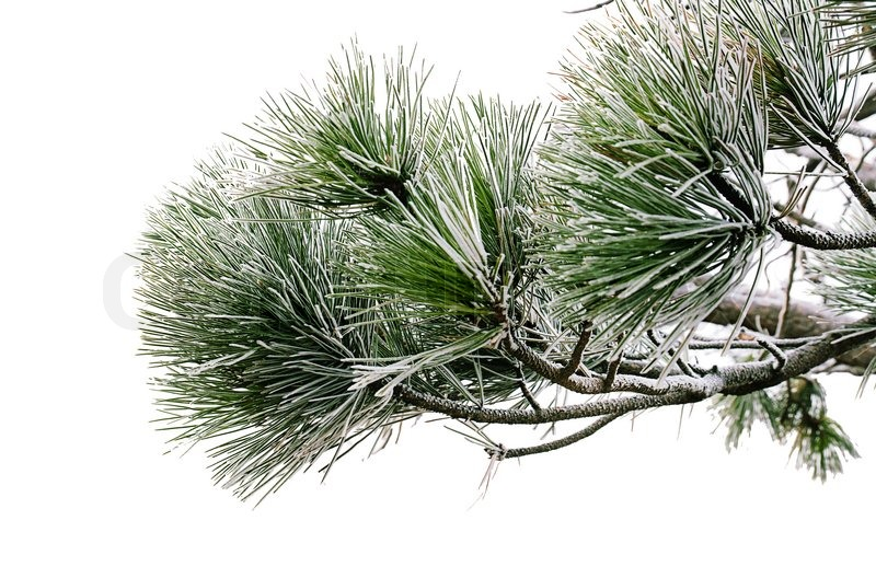 green pine tree branch isolated on the white with snow stock photo