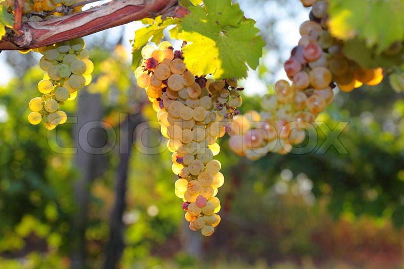 Bunches of ripe grapes on the vine, selective focus, stock photo
