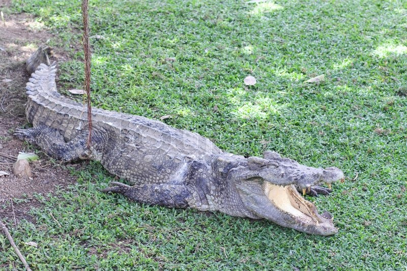 Stock image of 'Crocodile with open mouth under the tree'
