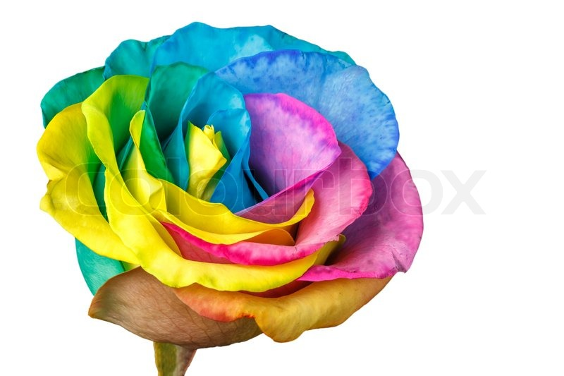Rainbow rose flower isolated on a white background stock for Where can i buy rainbow roses