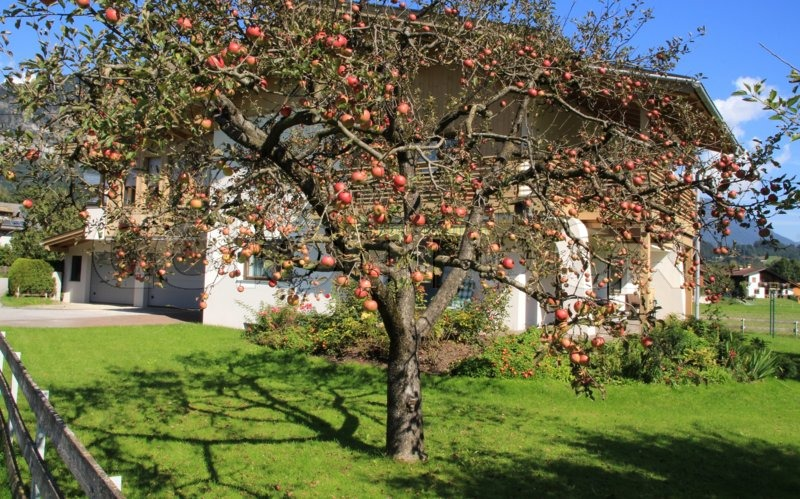 In The Home Garden Stand An Apple Tree With Many Red Apples In Autumn In  Tirol In Austria, Stock Photo