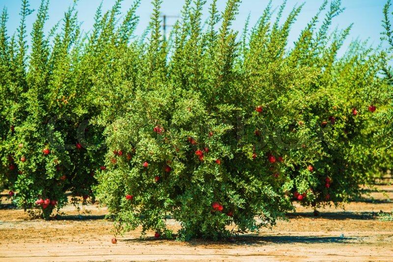 pomegranate fruit california state fruit