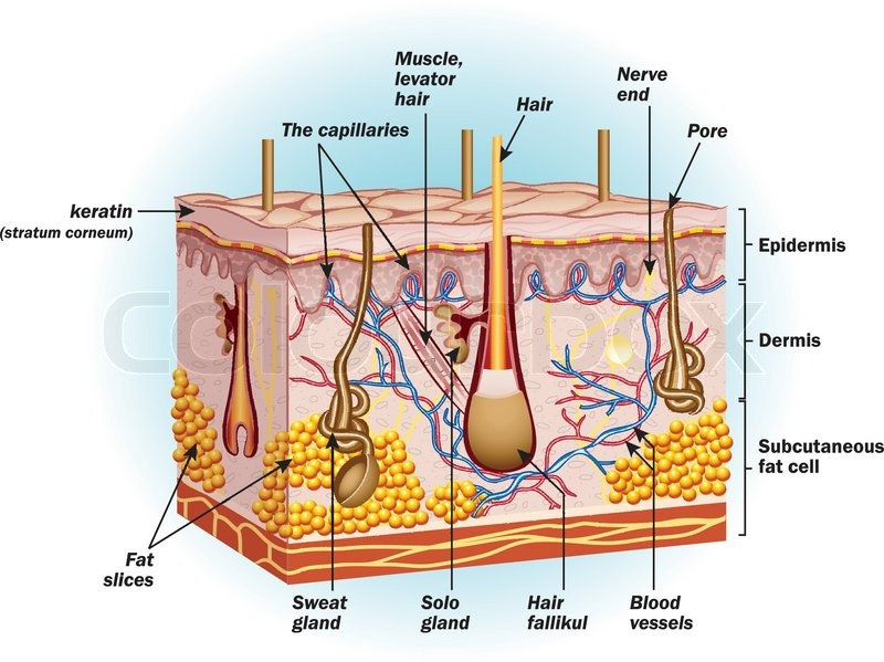 The Structure Of Human Skin Cells Stock Vector Colourbox