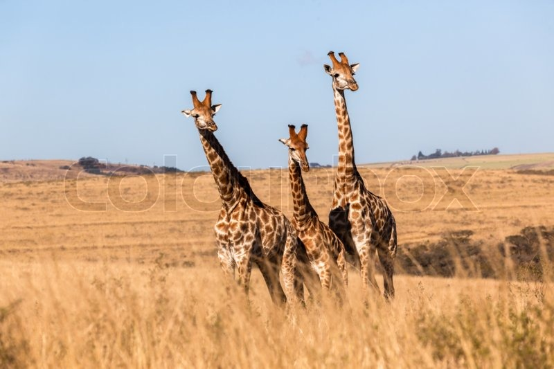 Wildlife giraffes animals in their habitat wilderness reserves ...