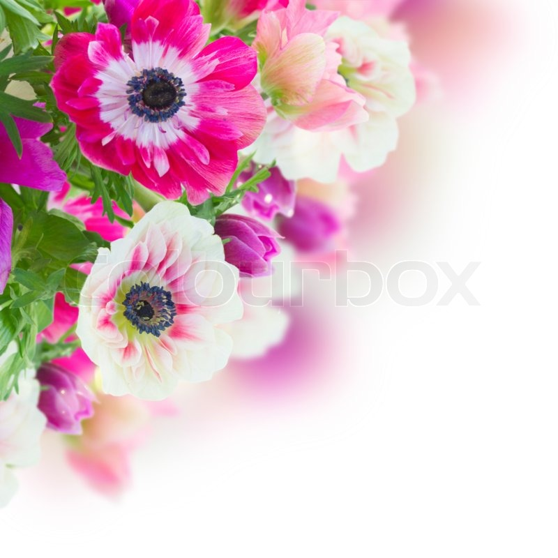 Bunch of pink and white anemone flowers close up on white background bunch of pink and white anemone flowers close up on white background stock photo colourbox mightylinksfo