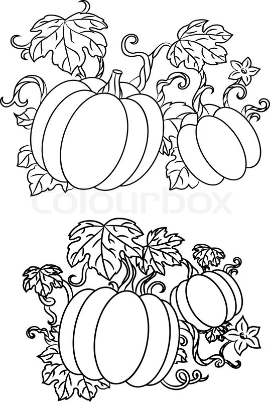 black and white line drawings of pumpkins growing on trailing vines with leaves for halloween design vector illustration isolated on white stock vector - Growing Halloween Pumpkins