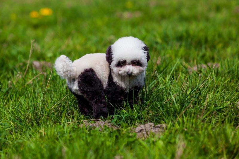 Dog repainted on panda. groomed dog. pet grooming, stock photo
