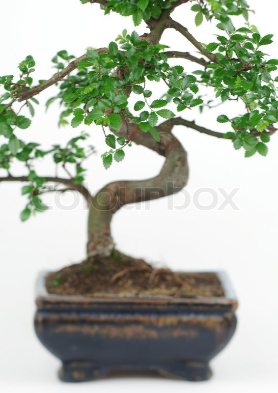 Bonsai japanese botany stock photo colourbox for 1800 flowers bonsai