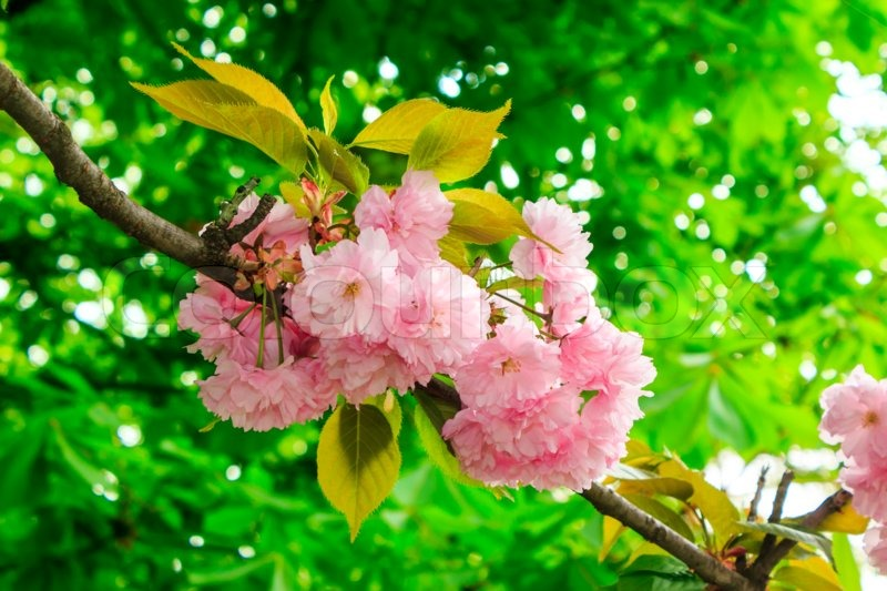 Delicate pink sakura flowers on a green tree crown stock photo delicate pink sakura flowers on a green tree crown stock photo colourbox mightylinksfo