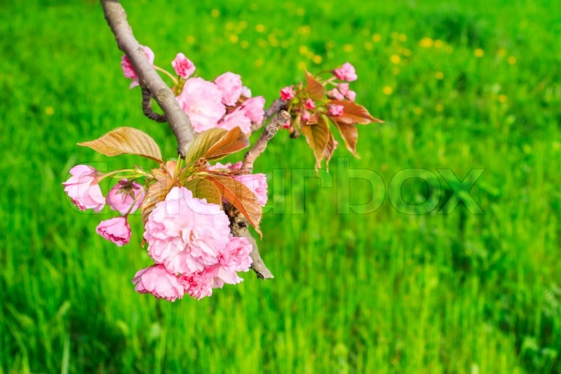 Nature background with blossoming sakura branch royalty free stock - Pink Flowers Blossomed Above Fresh Green Grass This Spring