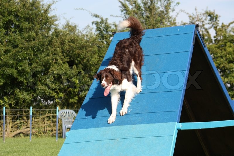 A very cute springer cross collie dog on agility equipment, stock photo