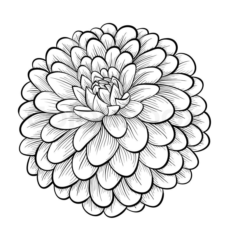 Zinnia Line Drawing : Beautiful monochrome black and white dahlia flower
