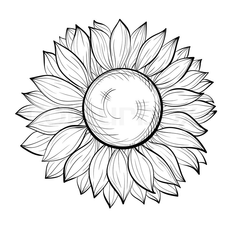 Contour Line Drawing Butterfly : Beautiful black and white sunflower isolated on