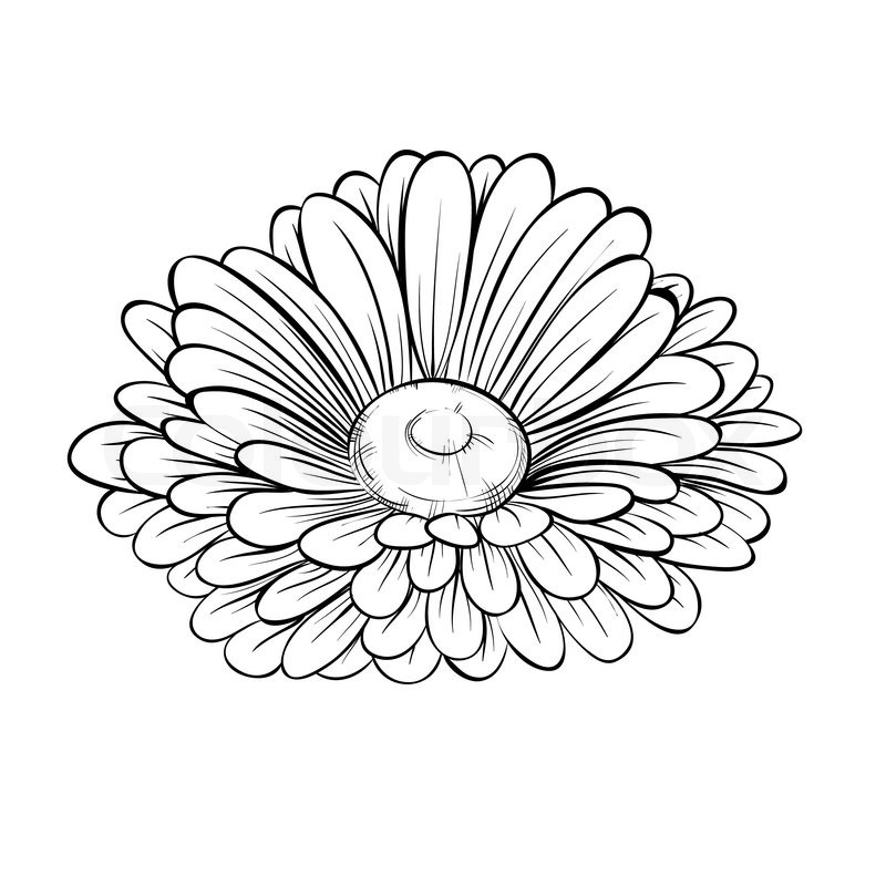 Simple Contour Line Drawings Of Flowers : Beautiful monochrome black and white daisy flower isolated