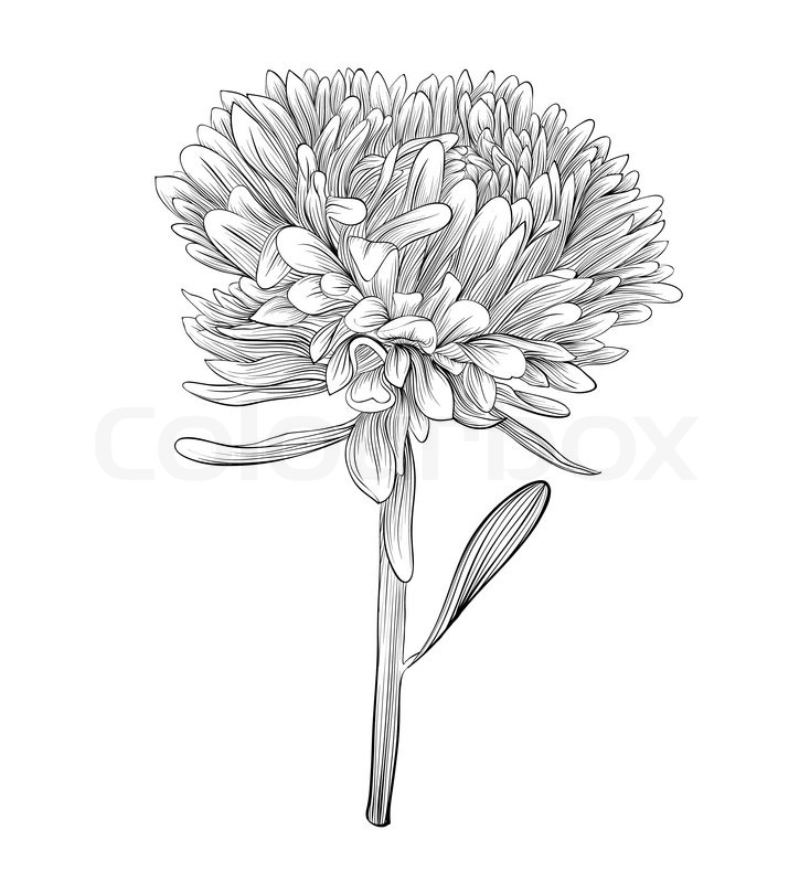 Passion Flower Line Drawing : Beautiful monochrome black and white aster flower