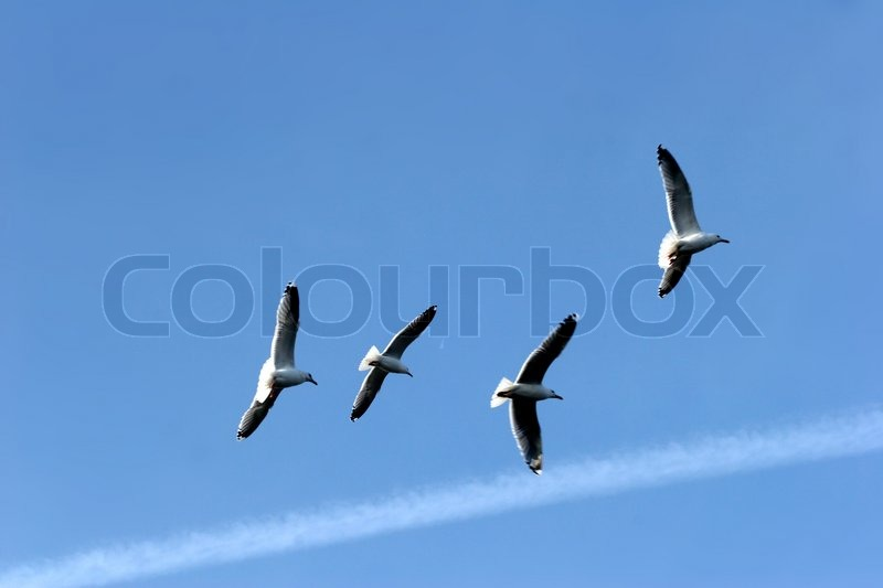 Seagull in denmark waiting the return of fishing boat, stock photo
