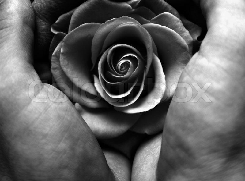 zwei h nde halten eine rose bild in schwarz und wei stockfoto colourbox. Black Bedroom Furniture Sets. Home Design Ideas