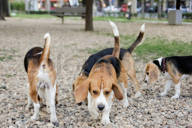 Popular Sea Beagle Adorable Dog - 11603489-beagle-puppy-dogs-playing-in-park  Pictures_93934  .jpg