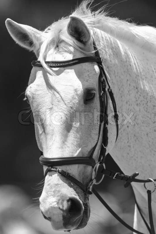 White horse head portrait of animal in black and white vintage tone stock photo colourbox