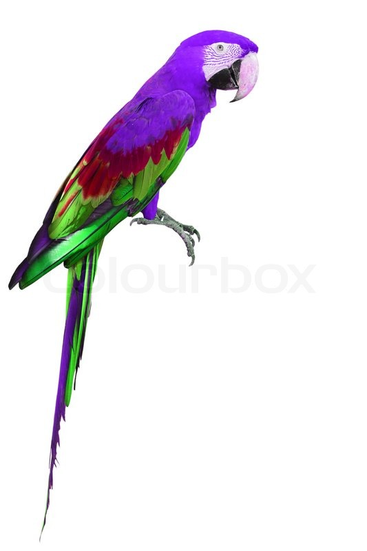 colorful purple and green macaw bird isolated on white background