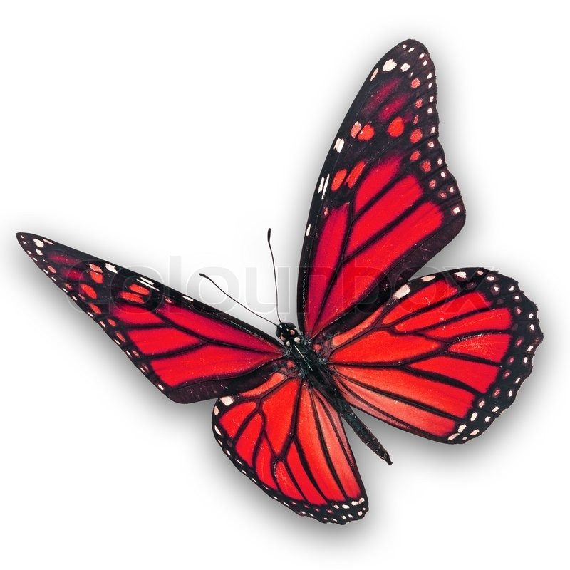 Beautiful red butterfly flying isolated on white ...