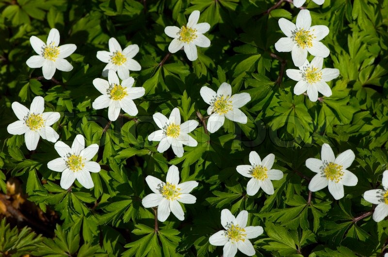 Green nemorosa white wood forest nature anemone plant green nemorosa white wood forest nature anemone plant background flower yellow beautiful lots windflower petal spring bloom blooming small mightylinksfo