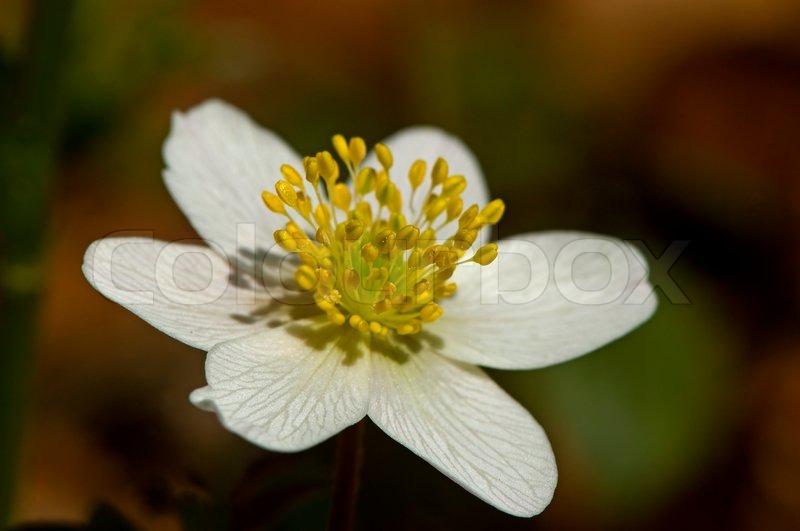 Green, Nemorosa, White, Wood, Forest, Nature, Anemone