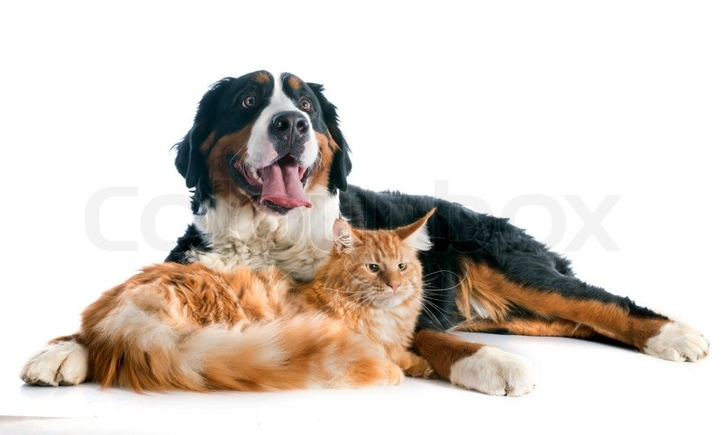 Bernese Mountain Dog And Maine Coon Cat