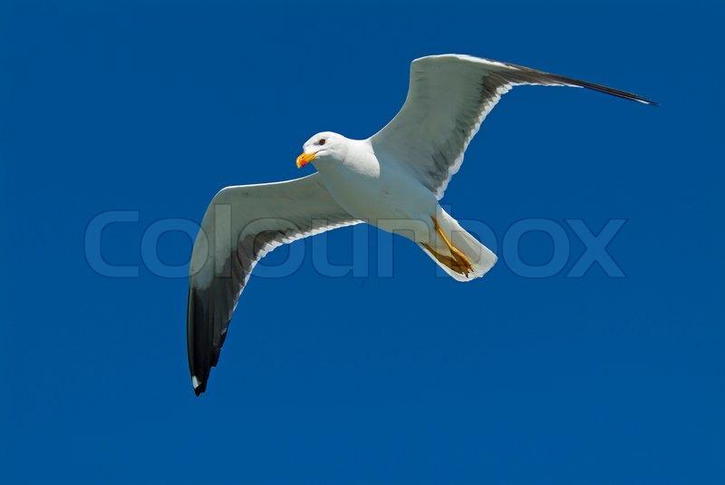Bird, blue, gull, sky, white, nature, flight, wildlife ...