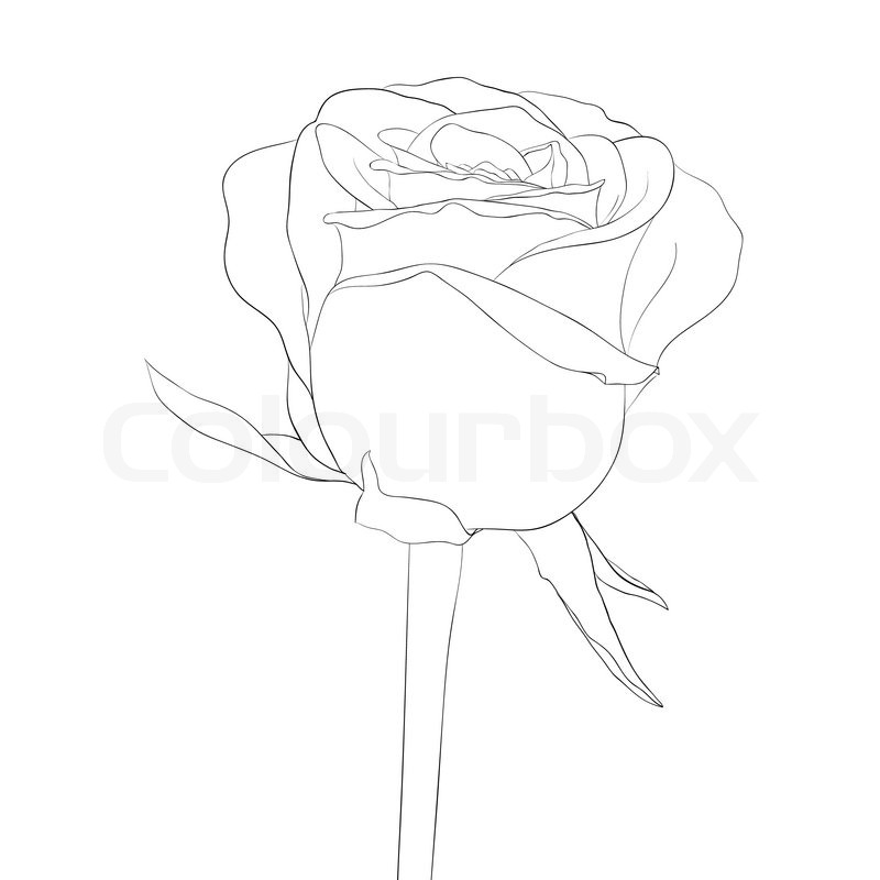 Contour Line Drawing Flowers : Beautiful monochrome black and white rose bud with stem