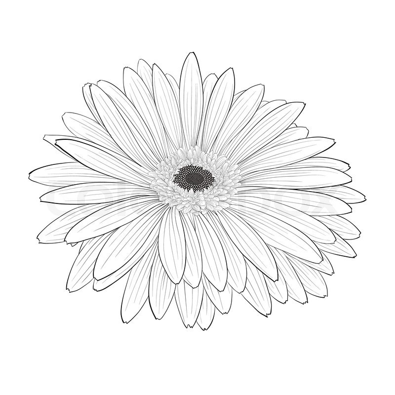 Beautiful monochrome black and white gerbera flower isolated hand beautiful monochrome black and white gerbera flower isolated hand drawn contour lines and strokes vector mightylinksfo