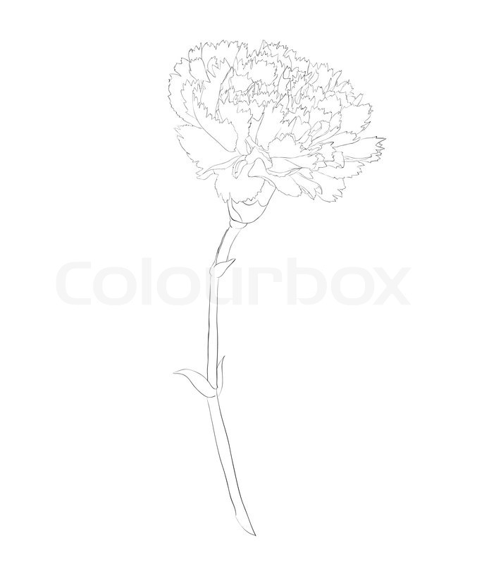 Carnation Flower Line Drawing : Beautiful monochrome black and white carnation flower