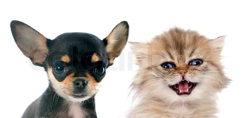 ... chihuahua and persian kitten in front of white background, stock photo Black And White Short Hair Chihuahua