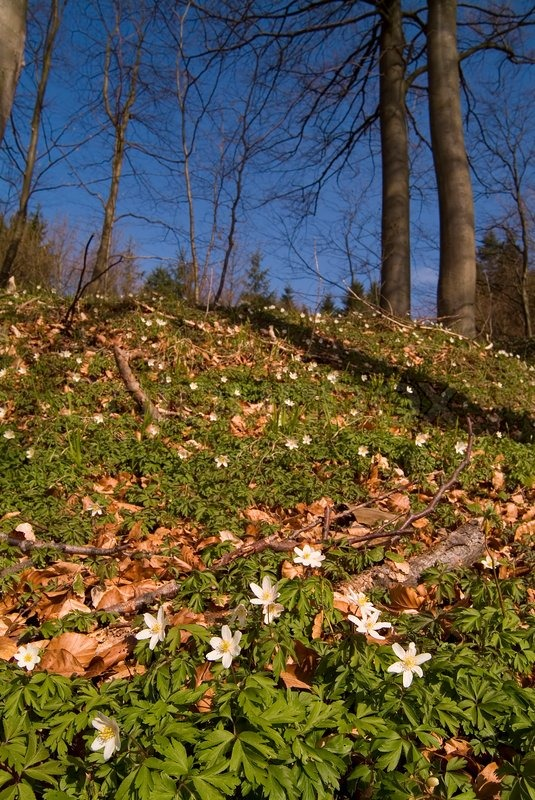 Anemone, Frühling, Blumen, Wald, Blüte, Natur, Pflanze, Holz, Blumen ...