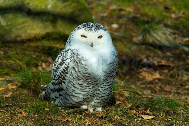 owl snowy snow bird cold white animal predator nature beak